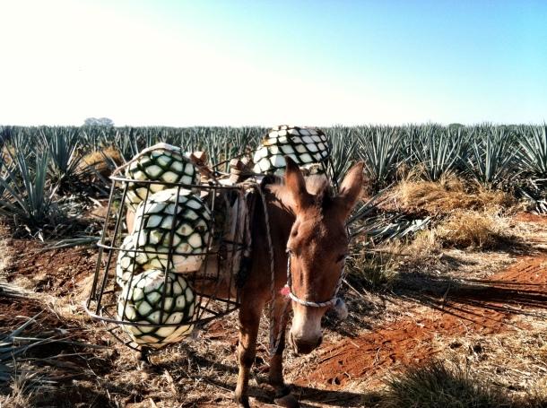 22b - Dulce Vida Organic Tequila Distillery Trip - Guadalajara & Mazamitla, Mexico - May 1-3, 2013